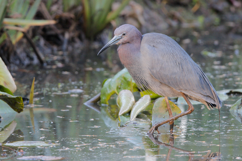 Little Blue Heron, Washington DC