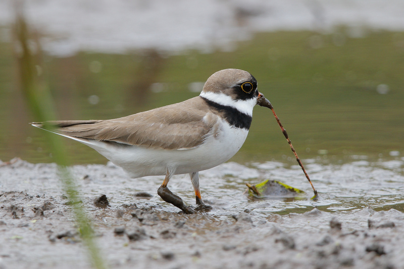Semipalmated Plover, Washington DC