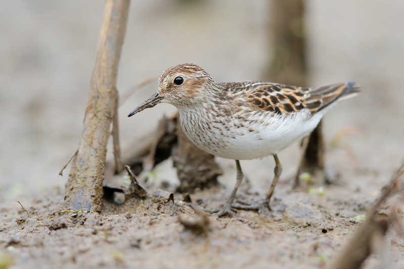 Least Sandpiper, Washington DC