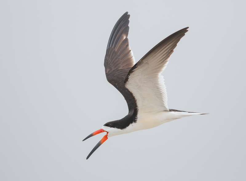 Black Skimmer, Nickerson Beach