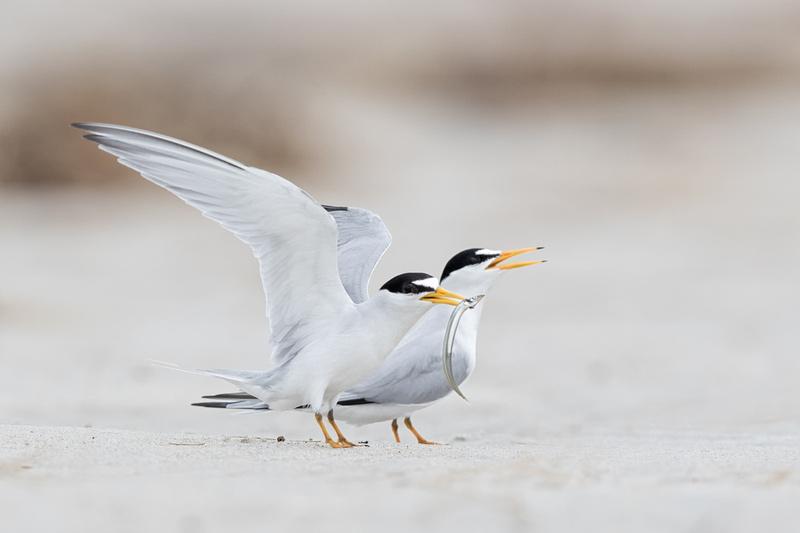Least Tern, North Shore of Massachusetts
