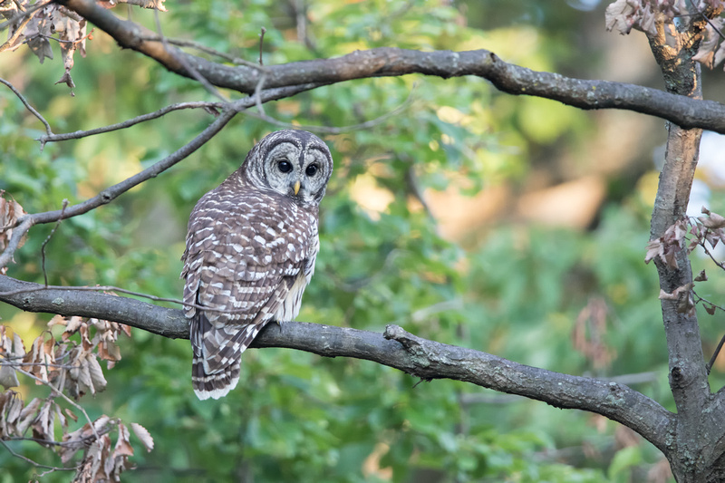 Barred Owl, Rock Creek Park, Washington DC