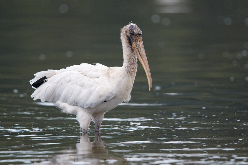 Wood Stork, Huntington Beach State Park, South Carolina