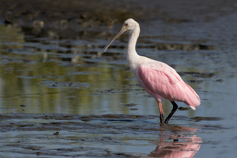 Roseate Spoonbill, Huntington Beach State Park, South Carolina