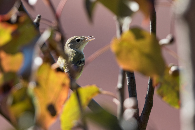 Bell's Vireo, National Arboretum, Washington DC