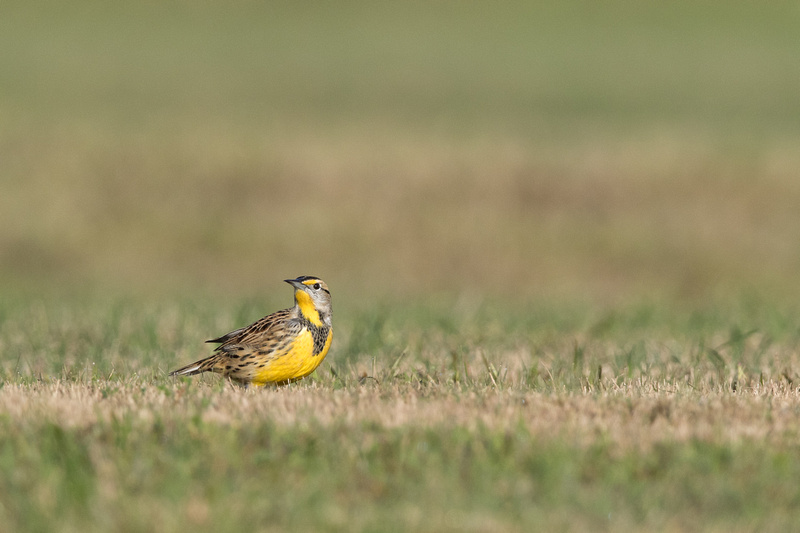 Eastern Meadowlark, Kenilworth Park, Washington DC