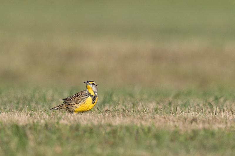 Eastern Meadowlark, Kenilworth Park, Washington DC
