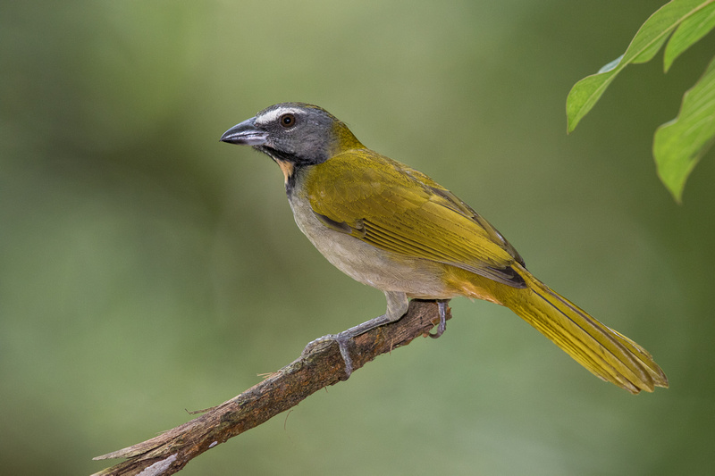 Buff-throated Saltator, Canopy Lodge, Panama