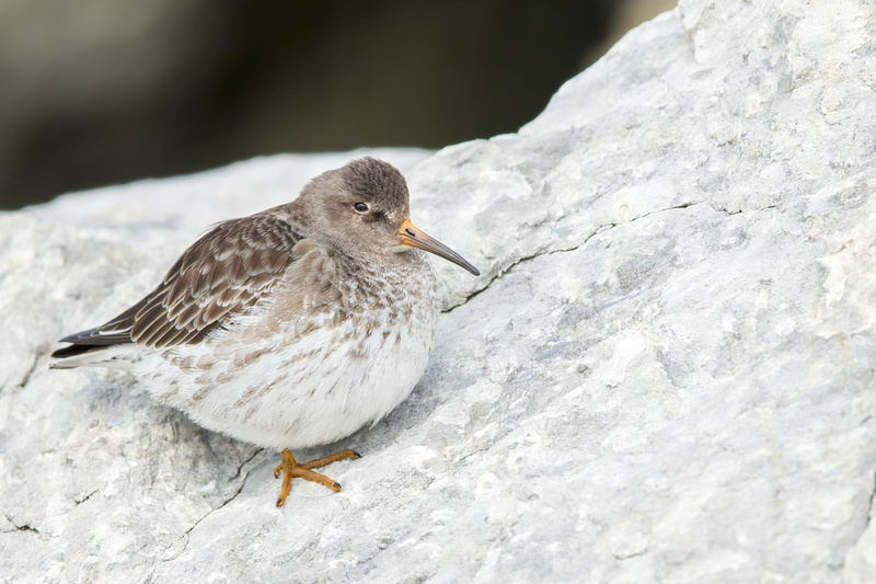 Purple Sandpiper, Barnegat Lighthouse, New Jersey