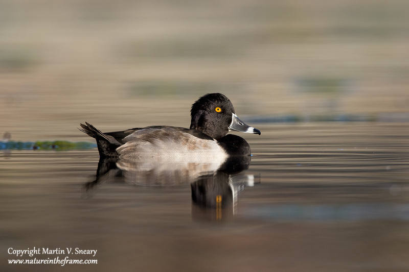 Ring-necked Duck, Constitution Gardens Pond, DC
