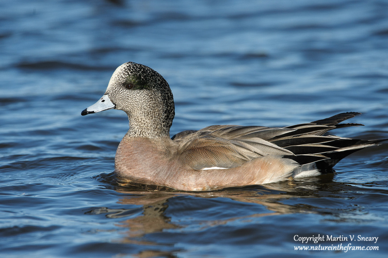 American Wigeon, Cambridge MD