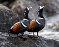 Harlequin Duck, adults calling (16x20)