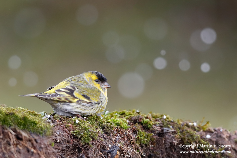 Siskin (male), Mies, Switzerland