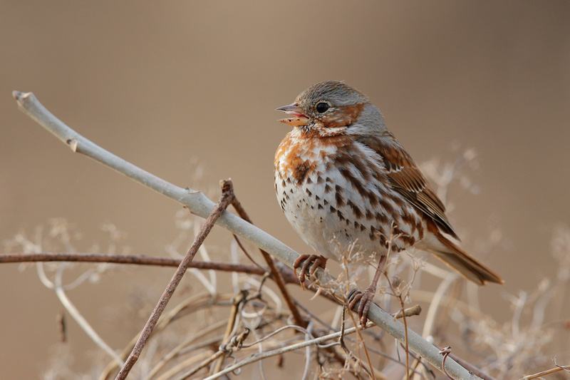 Fox Sparrow, Washington DC