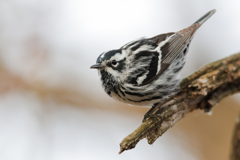 Black-and-white Warbler, Kenilworth Aquatic Gardens, Washington DC