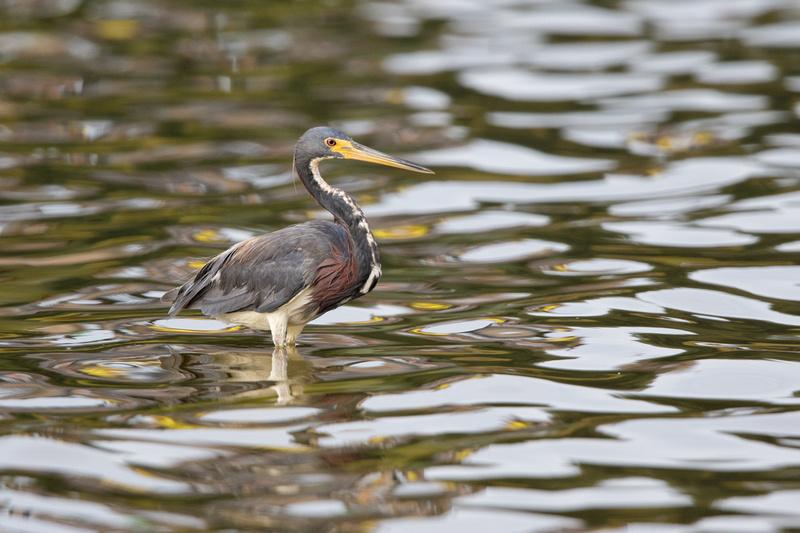 Tri-coloured Heron, Huntington Beach State Park, North Carolina