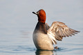Pochard, Rolle, Switzerland