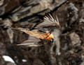 Bearded Vulture, Swiss Alps (11x14)