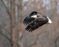 Bald Eagle, USA (8x10 and 16x20)