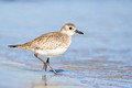 Black-bellied Plover, Barnegat Lighthouse, New Jersey