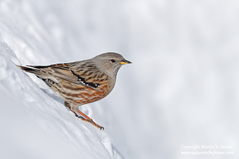 Alpine Accentor, Valais, Switzerland