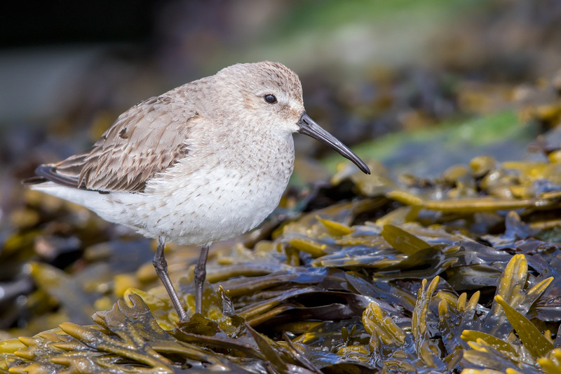 Dunlin, Barnegat Lighthouse, New Jersey