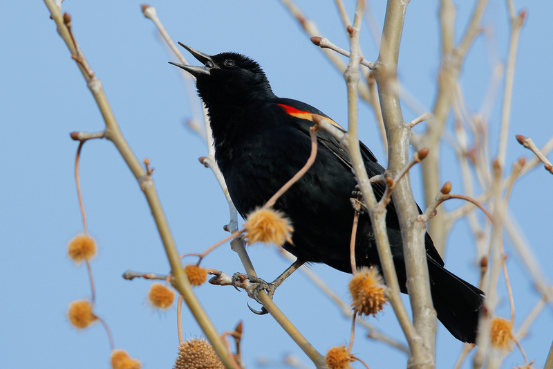 Red-winged Blackbird, Kenilworth Aquatic Gardens, Washington DC