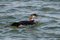 Common Loon, Ocean City Inlet, MD