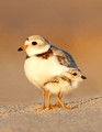 Piping Plover, North Shore of Massachusetts