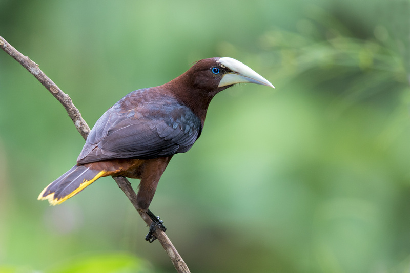Chestnut-headed Oropendola, Canopy Lodge, Panama