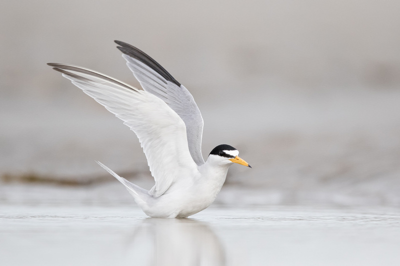 Least Tern, North Shore of Massachusetts