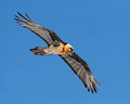 Bearded Vulture, Swiss Alps (8x10 and 16x20)