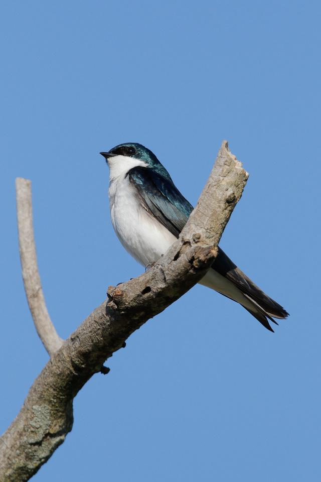 Tree Swallow, Washington DC