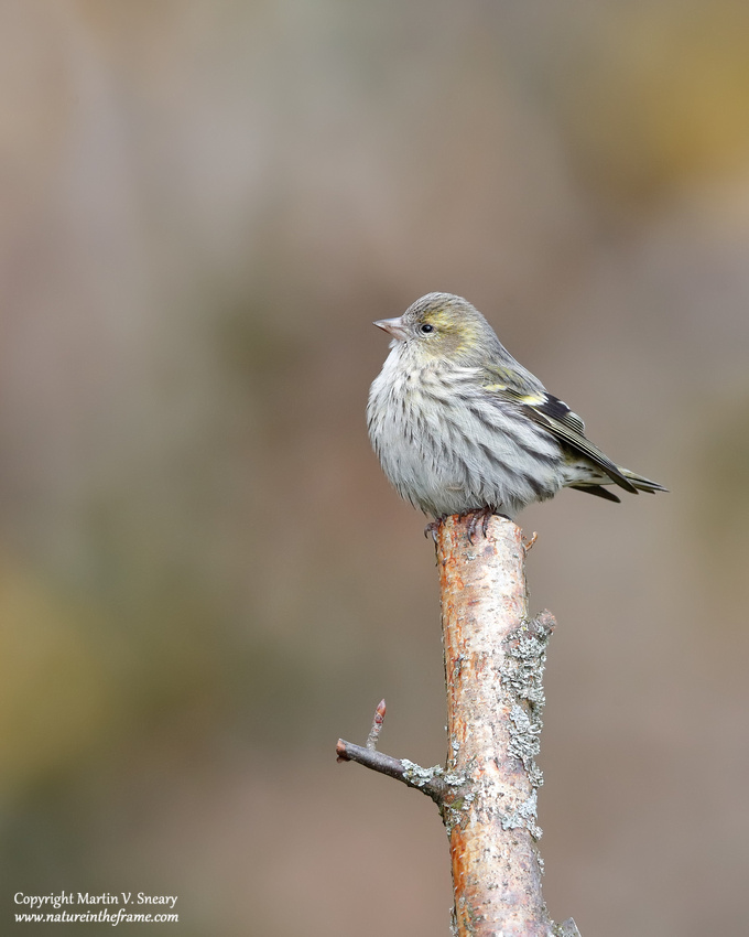 Siskin (female), Mies, Switzerland