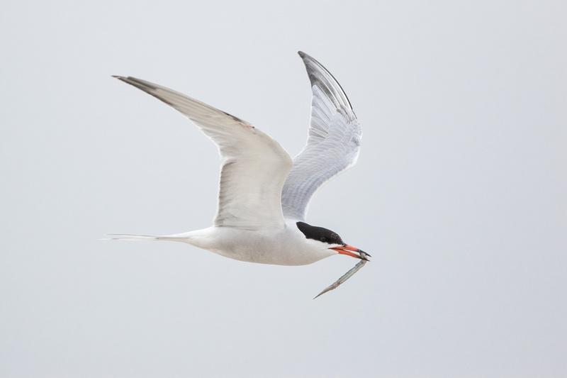 Common Tern, Nickerson Beach