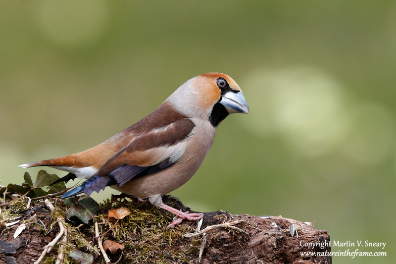 Hawfinch, Mies, Switzerland